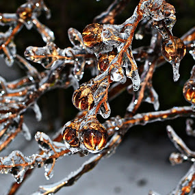 Glisten by Freddie Meagher - Nature Up Close Trees & Bushes ( water, plant, macro, winter, tree, nature, ice, frozen, encapsulated, light )