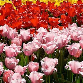 Tulip garden. by Peter DiMarco - Flowers Flower Gardens ( flowering, tulip, tulips, flowers, flower )