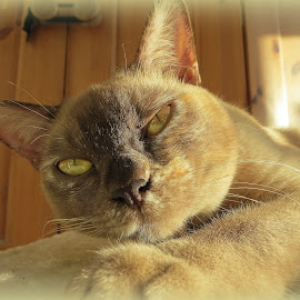 Tilly by Caroline Beaumont - Animals - Cats Portraits ( cat, pedigre cat, choc tortie burmese, choc burmese, burmese cat )