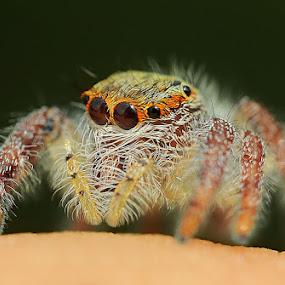Little Spider by Setiady Wijaya - Animals Insects & Spiders ( spider )