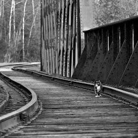Take Me Home by Reva Fuhrman - Animals - Cats Kittens ( kitten railroad track bridge black and white summer )
