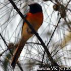 Orange Minivet - Male