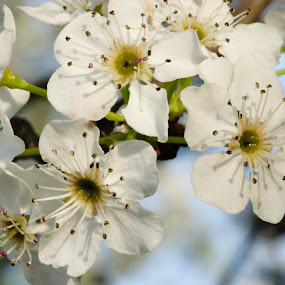 Happy Flowers by M.H. O'Dell - Flowers Tree Blossoms ( spring, macro, flowers )