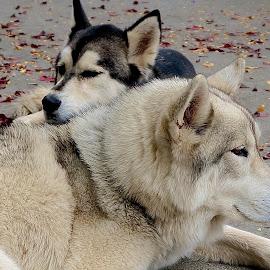 Buddies by Barbara Brock - Animals - Dogs Portraits ( two husky dogs, pets, two malamutes, alaskan malamutes, dog, malamutes )