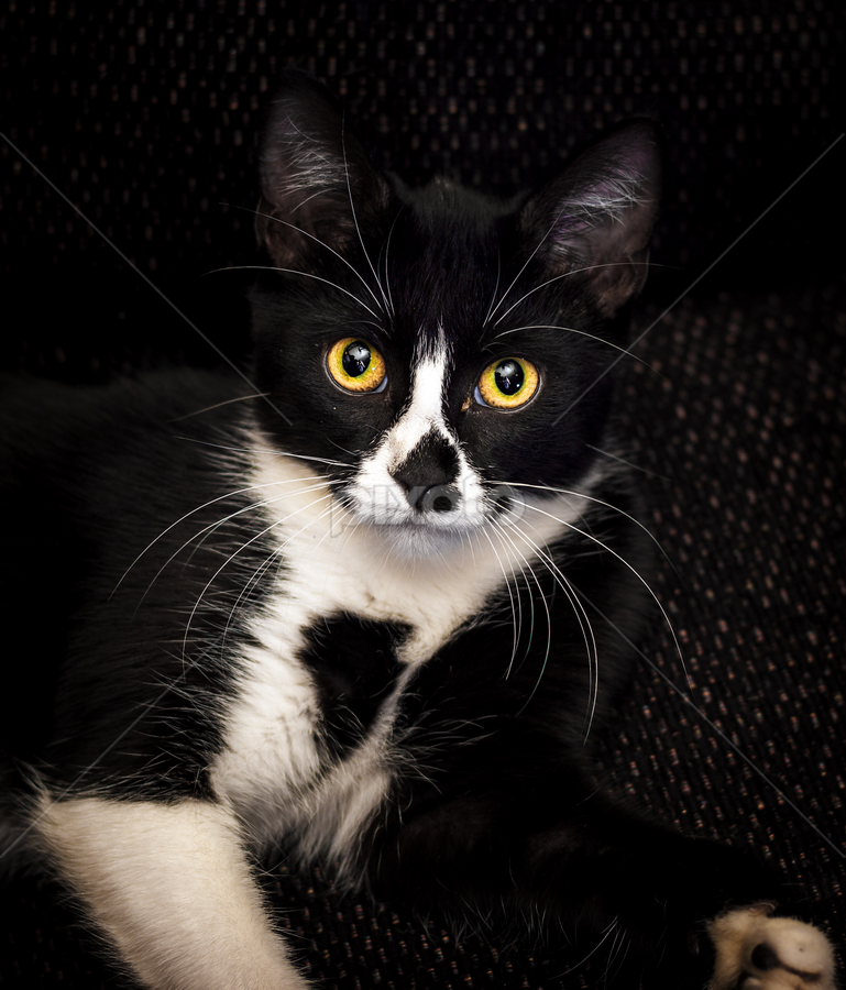 The Stare of a Cat by Rob Heber - Animals - Cats Kittens ( kitten, cat, black and white, intense, yellow eyes, cute, posing, domestic, domestic animal, eyes, pet portrait, pose, couch, staring, cat eyes, pet, gaze, precious, whiskers, cuddly, adorable, paws, feline, tabby, animal, glaring )