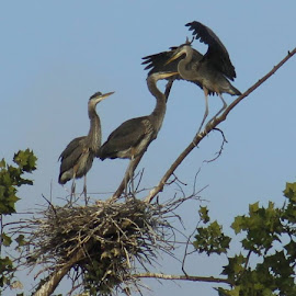 Heron Babies by Jo Anne Keasler - Novices Only Wildlife