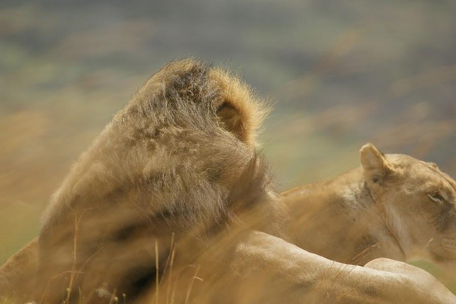 Mingle of mane, grass and wind,,, by Charmane Baleiza - Animals Lions, Tigers & Big Cats ( charmane baleiza, big cats, panthera leo, kion, male lions, running lion )