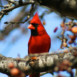 Cardinal (Male) by Tommy Fisher - Novices Only Wildlife
