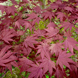 Japanese Red Maple by Debra Branigan - Nature Up Close Leaves & Grasses