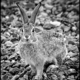 Rabbit by Dave Lipchen - Black & White Animals ( rabbit )