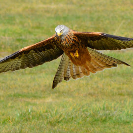 by Sharon Davies - Novices Only Wildlife ( bird, flight, bird of prey, wingspan, wings, red kite, feathers )