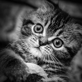 Kitty by Yuriy Lagno - Animals - Cats Kittens ( cat, kitten, pussycat, kitty, pussy,  )