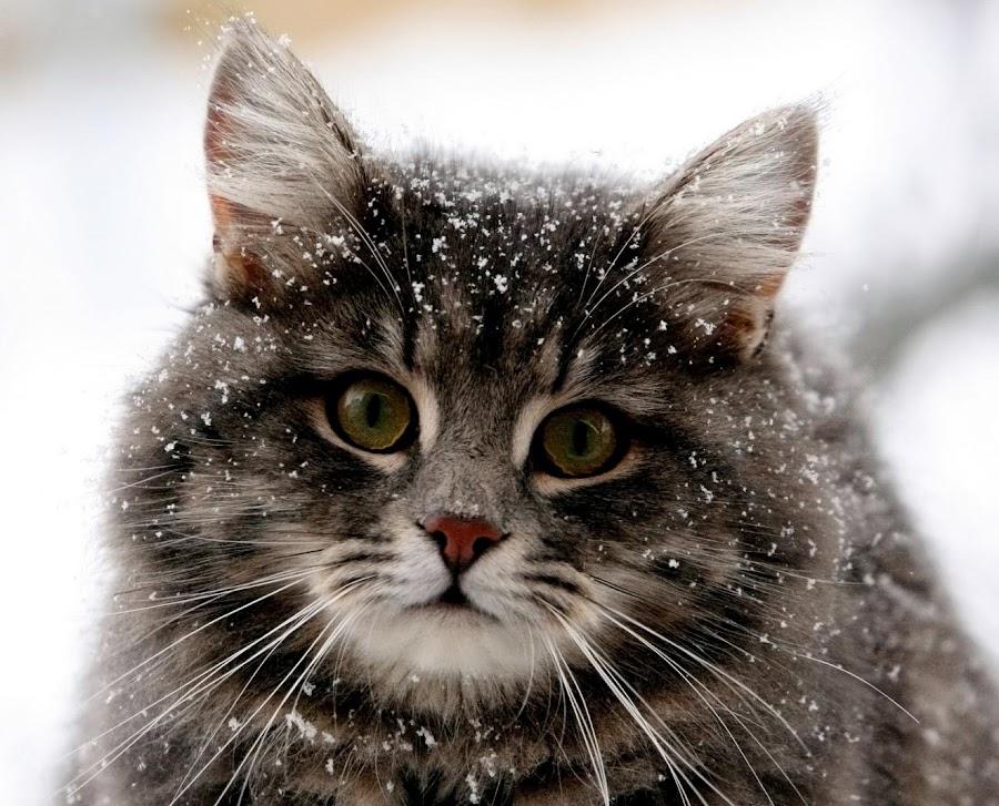 Miss Petunia by Adam Ree Hizaham - Animals - Cats Portraits ( cutest cats )