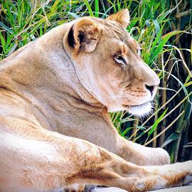 The big chill by Michael Pruitt - Animals Lions, Tigers & Big Cats ( big cat, cat, lioness, arizona )