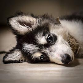 Talents the Puppy by Stuart Partridge - Animals - Dogs Puppies ( stuart, d610, partridge, puppy, malamute )