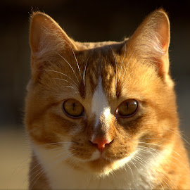 CHEDDAR by Dana Johnson - Animals Other ( cat, sunset, golden, eyes, animal )
