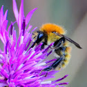 Brown-banded carder bee;