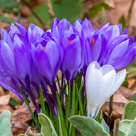 One Among Many by Keith Sutherland - Flowers Flower Buds ( crocus )