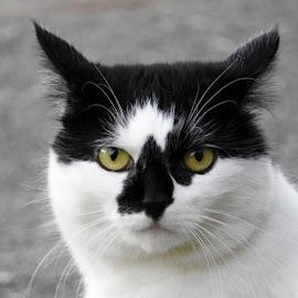 by Jo Thomas - Animals - Cats Portraits