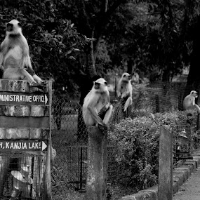 Family by DrArindam Ghosh - Animals Other Mammals ( blackand white, nature, zoo, ape, / monkey, anima )