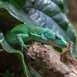 Green Kell-bellied Lizard - Gastropholis prasina by Waldemar Dorhoi - Animals Amphibians (  )