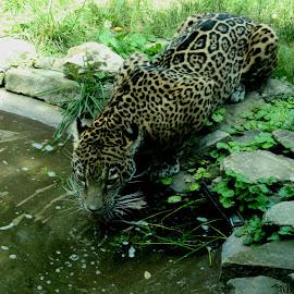 by Melissa NO - Animals Lions, Tigers & Big Cats