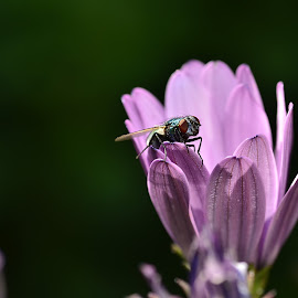 Fly on an osteospermum by Yani Dubin - Animals Insects & Spiders