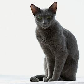 Ines by Pauli Araneva - Animals - Cats Portraits ( pose, russian blue, cat, pet, portrait )