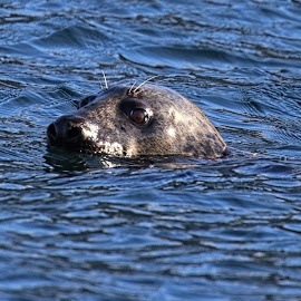 Seal by Roald Heirsaunet - Animals Other