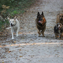 by Ivana Tilosanec - Animals - Dogs Running ( pets, running, dogs, animals, park )
