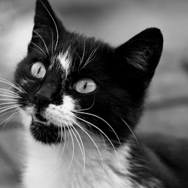 by Ciocan Vasilica - Animals - Cats Portraits