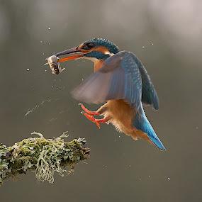 Landing Gear Down by Charlie Davidson - Animals Birds ( bird, wild, nature, kingfisher, wildlife, scotalnd )