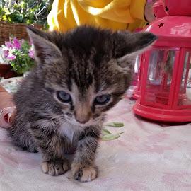 Kitten named Curry by Pia Torpman - Animals - Cats Kittens ( svensk bondkatt, kitten, bondkatt, kattunge, curry )