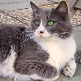 Cat  by Florentina  Arvanitaki - Animals - Cats Portraits ( beautiful cal, cat, cat paint, cat sitting )