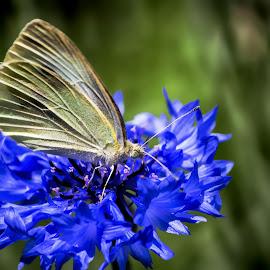 Yellow and Blue Make Green by Janice Mcgregor - Animals Other ( macro, nature, blue, green, outdoors, summer, yellow, spring, close-up, outside )