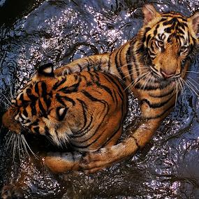 Two Tiger Sumatera by Ubayoedin As Syam - Animals Lions, Tigers & Big Cats