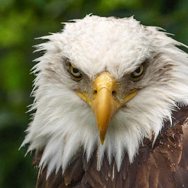Wet through by Garry Chisholm - Animals Birds ( garry chisholm, birdofprey, nature, bald eagle, raptor )