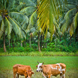 Cow Cow by Curly Yanni - Animals Other ( sapi, cow, cows )