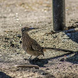 on the hunt by Dustin Wilcox - Novices Only Wildlife ( bird, bird of prey, roadrunner )