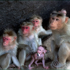 Monkey family by Arvind Akki - Animals Other ( pwcbabyanimals, monkeys,  )