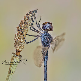 Selysiothemis nigra (Vander Linden, 1825) by Eric Niko - Animals Insects & Spiders ( tiny, predator, fly, wings, libellula, selysiothemis nigra, dragonfly, black )