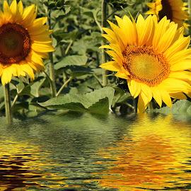 nice sunflowers by LADOCKi Elvira - Digital Art Things ( nature, flowers, garden )