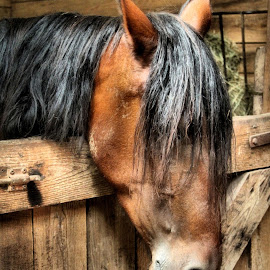 Paso Fino by Linda Brintzenhofe - Animals Horses ( love, breed, equine, barn, horse )