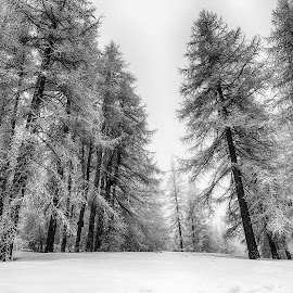 Winter Monochrome by Katherine Rynor - Black & White Landscapes ( monochrome, snow, trees )