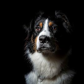 Noble beast Wiley by Geo Toth - Animals - Dogs Portraits ( australian, tri mix, dog, shepard, portrait, aussie )