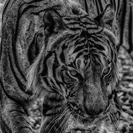 Tiger by Peter Hallam - Black & White Animals ( face, malaya, cat, tiger, feline )