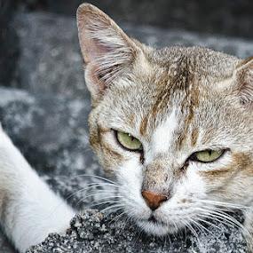 look by Aritra De - Animals - Cats Portraits