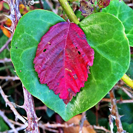 Autumn' heart  by Dobrin Anca - Instagram & Mobile iPhone ( contrast, roselier, color, autumn, leaves )
