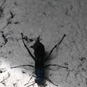 Steel - blue cricket hunter