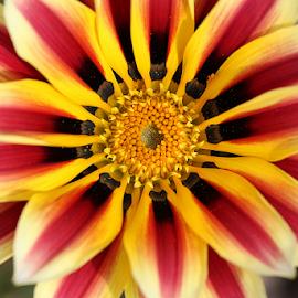 Gazania by Nikola Vlahov - Flowers Single Flower ( gazania, showy, petals, bokeh, close up, flower )